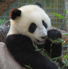 Su Lin enjoying her boo today (kjdrill) Tags: china california baby station giant zoo cub panda sandiego chinese research endangeredspecies sdzoo sulin impressedbeauty
