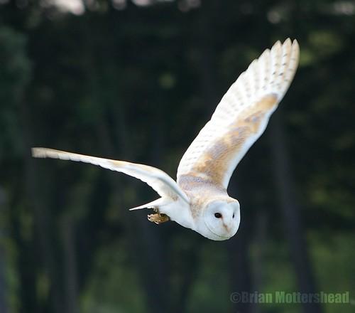 Pictures Of Owls In Flight. Barn Owl in Flight