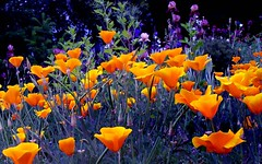 Thunderstorm beauties (ladder_711) Tags: lighting flowers orange black wonder amazing purple bright gorgeous tag apex poppies thunderstorm guten californiapoppies gtaggroup goddaym1 awesomeblossoms