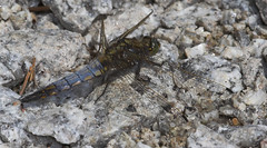 "Black Tailed Skimmer Dragonfly (orthe(9) • <a style=""font-size:0.8em;"" href=""http://www.flickr.com/photos/57024565@N00/168271666/"" target=""_blank"">View on Flickr</a>"