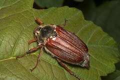 "Cockchafer (melolontha melolontha)(1) • <a style=""font-size:0.8em;"" href=""http://www.flickr.com/photos/57024565@N00/170321112/"" target=""_blank"">View on Flickr</a>"