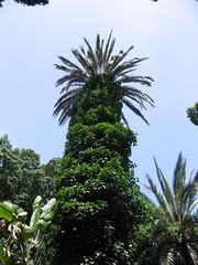 Tall palm (qwghlm) Tags: summer holiday tree spain andalucia palm cadiz andalusia sanlucardebarrameda sanlucar