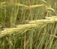 Wheat... (ms.lume) Tags: green yellow tag3 taggedout golden tag2 tag1 wheat