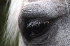 horse eye (bea2108) Tags: horses horse animal animals arabian arabianhorse