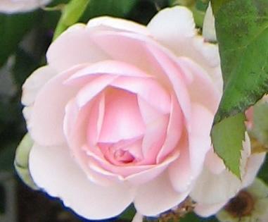 pink rosebud Milk Pail 06252006