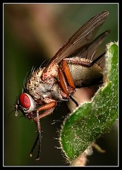 Fly  red eyes
