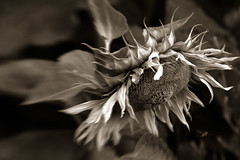 sunflower-elegy [10] (elfis gallery) Tags: life flowers summer blackandwhite bw plants white plant black flower love nature monochrome sepia death grey flora time decay vanity philosophy sunflowers morbid sunflower melancholy schwarzweiss weiss schwarz sonnenblume elegy todolist vanishingbeauty summerends scharzweiss graustufen photophilosophy schwarzundweiss bilderfantasien elegical sunflowerelegy