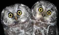 Helmipöllö (mattisj) Tags: bird birds explore owl owls lintu linnut pöllö aegoliusfunereus tengmalmsowl helmipöllö pöllöt