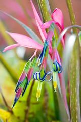 Bromeliad (HelenPalsson) Tags: flower garden brisbane bromeliad pc4031 20060628