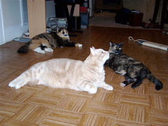 3 Stooges (Starbuck05) Tags: family pet cats cat kitten feline tabby cream siblings calico beautifulcats