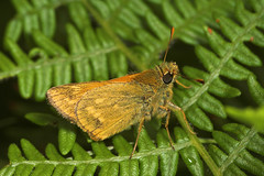 "Small Skipper Butterfly (thymelicus s(7) • <a style=""font-size:0.8em;"" href=""http://www.flickr.com/photos/57024565@N00/182485064/"" target=""_blank"">View on Flickr</a>"