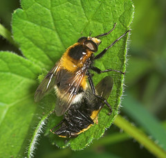 """Mating Hoverfly (Volucella zonaria) • <a style=""""font-size:0.8em;"""" href=""""http://www.flickr.com/photos/57024565@N00/183986343/"""" target=""""_blank"""">View on Flickr</a>"""