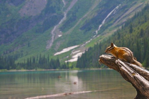 Chipmunk at Avalanche Lake