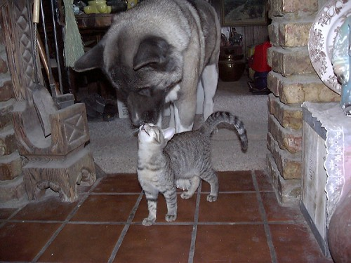 cute tabby kitten dog love kissing cat pic