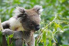 koala 2 (patrick wilken) Tags: topv111 australia koala specanimal animalkingdomelite