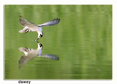 Drink (dawey [Mohammad Alhameed]) Tags: bird 20d birds canon iso400 wildlife kuwait dslr  100400mm picturecollection vwc  kuwaitwildlife shutter800s  kuwaitvoluntaryworkcenter  photovwc kuwaitvwc