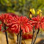 Aloe flowers thumbnail