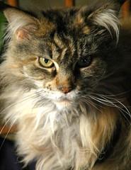Molly (hbp_pix) Tags: girl beautiful cat chat maine gato coon gata katze gatto katt katta cooncat cc300 cc200 cc100 hbppix