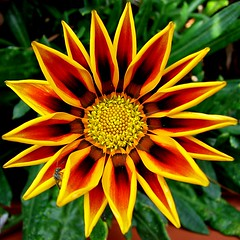gazania 'golden flame' squircle with visitor (mimbrava) Tags: flowers 2 orange brown flower topf25 yellow topv111 catchycolors interesting topv555 topv333 explore mimbrava squaredcircle gazania squircle ornage excellence gazaniarigens outstandingshots specnature setexplorepage setgazaniamania setflickrfavorites setflowersset2 setcatchycolors setinmacromode setsquircles