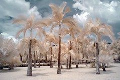 Coconut Trees (RtOaNn) Tags: ir singapore surrealism surreal infrared punggolpark nikonstunninggallery xgf02 x0201