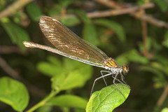 """Beautiful Demoiselle Damselfly (calop(6) • <a style=""""font-size:0.8em;"""" href=""""http://www.flickr.com/photos/57024565@N00/191612430/"""" target=""""_blank"""">View on Flickr</a>"""
