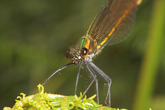 """Beautiful Demoiselle Damselfly (calop(5) • <a style=""""font-size:0.8em;"""" href=""""http://www.flickr.com/photos/57024565@N00/192516987/"""" target=""""_blank"""">View on Flickr</a>"""