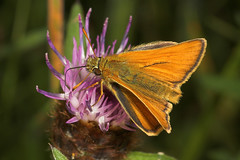 """Small Skipper Butterfly (thymelicus s(1) • <a style=""""font-size:0.8em;"""" href=""""http://www.flickr.com/photos/57024565@N00/193209523/"""" target=""""_blank"""">View on Flickr</a>"""