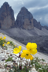 Alpine Poppies - 3 Cime (Stephen P. Johnson) Tags: italy flower yellow wow italia searchthebest explore alpine poppy dolomites dolomiti myexplore jul0613901 amazingmountains