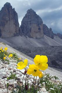 Alpine Poppies - 3 Cime