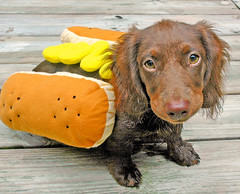 It's Halloween in July. (Doxieone) Tags: dog brown fall halloween topf25 yellow puppy hotdog costume interestingness nikon long teddy chocolate mosaic yes c dachshund explore 101 v final exploreinterestingness hi miscellaneous haired 10000 hott bun mostpopular ggg 1002 longhaired ourdogs onexplore final2 nikon70 topfavorite explored removedfromnikkorfortags 67026818 76430825 81433828 893593 103637916 cmcoct06 127742106 doxieone101 1473451030 153345111 impressedbeauty halloweenset flickrchallengegroup 222450522 teddyset 271665922 2998660101508 405367090708 443067100308 465967101308 fallhalloween200672008set 919675093009 ddate