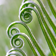 Curly Hair (olvwu | ) Tags: usa baby fern macro green nature canon ga georgia leaf curvy 100mm savannah cycads sagopalm musicalreferences jungpangwu oliverwu oliverjpwu flickrexplore 10favs 20favs explored cycadales cycadfamily cycasrevolutathunb ancientplant canonef100mmmacrof28usmlens olvwu jungpang