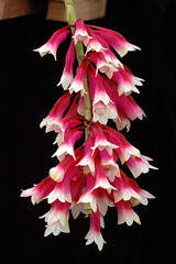 Dendrobium lawesii (Eric Hunt.) Tags: red orchid flower d70 selected orchidaceae dendrobium bicolor potw dendrobiumlawesii