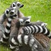Bundle of lemurs