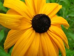 Black Eyed Susan (inkfeather) Tags: summer flower blackeyedsusan