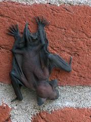 Orphaned Bat - 4