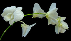 White orchid (Vanda's Pictures) Tags: white orchid