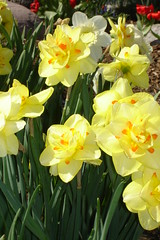 Close Up Tahiti Daffodil (2) (lcmcolor) Tags: spring beds pansy 2006 pots tulip premium flowerbeds