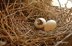 hatching chick (dhyanji) Tags: pets india bird nature pigeon dove whitedove dhyanji