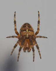 "Garden Cross Spider (Araneus diadema(16) • <a style=""font-size:0.8em;"" href=""http://www.flickr.com/photos/57024565@N00/201686913/"" target=""_blank"">View on Flickr</a>"
