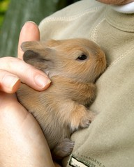 baby rabbit (ksvrbrg) Tags: cute bunny contest adorable tiny cuddle babyrabbit cmcaug06