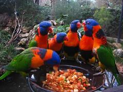 Australia, Adelaide: Food for talk (kool_skatkat) Tags: food bird nature topv111 zoo topv555 topv333 colours catchycolours topv1111 topv999 topv444 australia topv222 adelaide topv777 topv666 catchy topv888 birdlovers koolskatkat birdlover natureselegantshots naturescreations