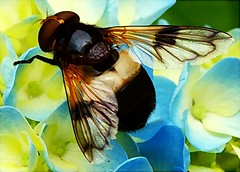 bright flyer (algo) Tags: blue black insect photography wings topf50 bravo quality topv1111 hydrangea topf100 hoverfly outstandingshots specnature specanimal animalkingdomelite abigfave volucellapellucenshoverfly