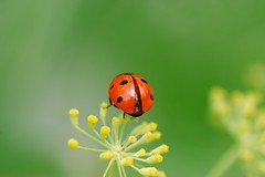 Coccinelle - by AmUnivers