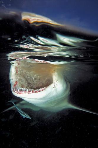 Lemon Shark at the Surface in the Bahamas