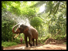 Padmanabhan - the king (Ravages) Tags: world travel people india elephant animals asia places kerala indianarchive sanctuary cheif guruvayoor bigshot indianness padmanabahan visitindia visitchennai