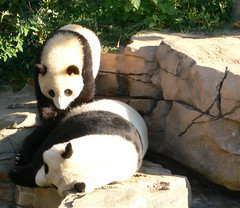 Wake Up Mom (akabyam) Tags: leica tag3 taggedout washingtondc smithsonian panda tag2 tag1 nationalzoo mei animalplanet taishan akabyam butterstick dlux2