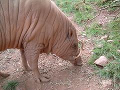 Babirusa (Kaptain Kobold) Tags: uk england 15fav holiday animals mammal zoo pig lakedistrict animalpark babirusa kaptainkobold yourfave southlakeswildanimalpark