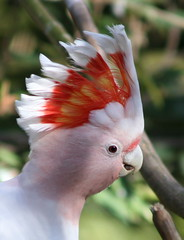 Major Mitchell's Cockatoo (again!) (mrdehoot) Tags: pink bird parrot crest cockatoo australianbirds cacatualeadbeateri majormitchellscockatoo leadbeaterscockatoo animalkingdomelite auselite