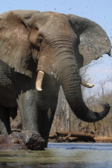 More mud (Wildcaster) Tags: africa elephant nature wildlife dumbo conservation safari zimbabwe jumbo tusks africanelephant southernafrica tusker cites loxodontaafricana africanwildlife phylumchordata malilangwe kingdomanimalia classmammalia wildlifeconservation specanimal wildcasting greatlimpopotransfrontierpark wildlifedocumentary wildlifefilms wildlifeeducation gameranging gonarezhou orderproboscidea familyelephantidae genusloxodonta wildcastselect