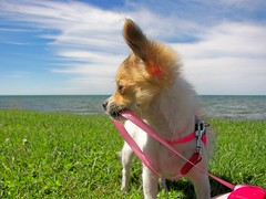 Come On...Let's Go Over There (nybird(Karen)) Tags: summer dog chihuahua cute dogs puppy little small 2006 cc chi tiny getty cecilia 5bestdogs es longcoat longhairedchihuahua august2006 chihuahuapuppy nybird longcoatchihuahua nybirds 1002965es 1002957es pixelthis nybirdsphotos